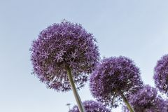 Czosnku kwiat Zdjęcie Stock