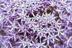 Czosnku kwiat Obrazy Royalty Free