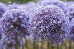 Czosnku kwiat Zdjęcia Royalty Free