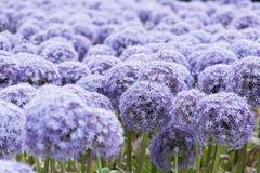 Czosnku kwiat Obraz Royalty Free