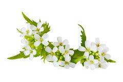 Czosnku Musztardy kwiat Obrazy Stock
