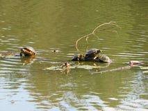 Cztery żółwia na nazwie użytkownikiej woda zdjęcie stock