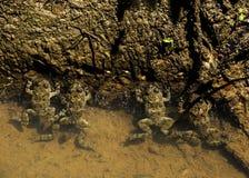 Cztery żaby w wodzie Obrazy Royalty Free