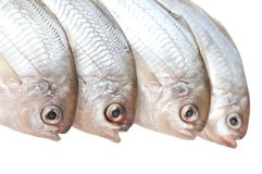 Cztery butterfish Obrazy Stock