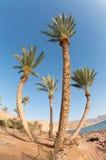 cztery drzewka palmowego Zdjęcie Royalty Free