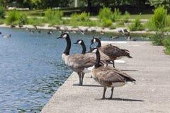 Cztery gąsek stojak na Betonowym wypuscie jezioro michigan obraz stock