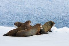 cztery łgarskiego śnieżnego morsa Obraz Stock
