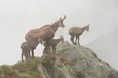 Cztery giemzy w mgle w Tatrzańskich górach Fotografia Royalty Free