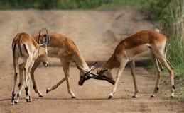 Cztery impala samiec w konkursie rogi Zdjęcia Stock