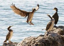 Cztery kaczki dynastia Zdjęcia Royalty Free