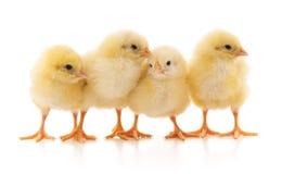 Cztery kolorów żółtych kurczak zdjęcie royalty free