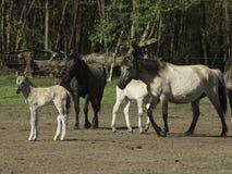 Cztery konia obraz royalty free