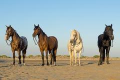 Cztery konia na plaży Obraz Stock