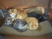 Cztery kota Snuggling na koc Fotografia Royalty Free