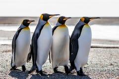 Cztery królewiątko pingwinu stoi wpólnie o (Aptenodytes patagonicus) Zdjęcia Stock