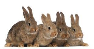 Cztery królika Zdjęcia Royalty Free