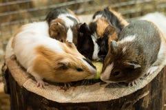 Cztery królika doświadczalnego je pokój ogórek obrazy stock