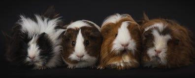 Cztery królika doświadczalnego w studio strzale fotografia royalty free