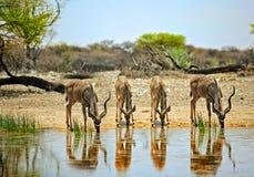 Cztery kudu pije przy waterhole w Onguma Intymnej rezerwie Obraz Stock
