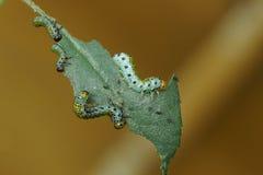 Cztery larw larw Sawfly lat Arge ochropus na różach Obrazy Stock