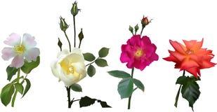 Cztery lekkiego brier kwiatu odizolowywającego na bielu ilustracja wektor