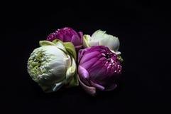 Cztery lotosu z fałdowymi płatkami Zdjęcie Royalty Free