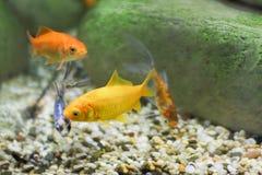 Cztery mała ryba, dwa z czego jest jaskrawy żółty kolor Zdjęcia Royalty Free