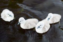 Cztery małego łabędź Zdjęcie Royalty Free