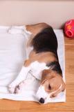 Cztery miesięcy Beagle stary żeński szczeniak Zdjęcia Royalty Free