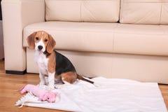 Cztery miesięcy stary żeński Beagle Obrazy Royalty Free