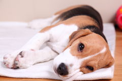 Cztery miesięcy stary żeński Beagle Zdjęcia Royalty Free