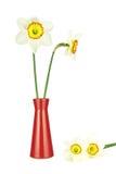 Cztery narcyz i waza odizolowywający Obrazy Stock