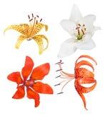 Cztery odizolowywającego leluja kwiatu inkasowego Zdjęcia Royalty Free