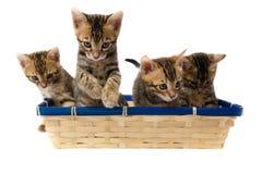 Cztery paskujący figlarki obsiadanie w koszu Obraz Stock