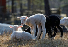 Cztery potomstwa jagnięcego w łące Fotografia Stock