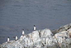 Cztery Preening kormoranu z rzędu zdjęcia royalty free