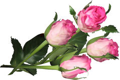 Cztery różowej róży odizolowywającej na bielu Obraz Stock