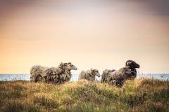 Cztery sheeps stoi w trawie Zdjęcie Royalty Free
