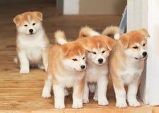 Cztery szczeniaka japończyka Akita trakenu pies zdjęcia stock
