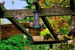 Cztery szczygieł przy dozownikiem. Zdjęcie Royalty Free