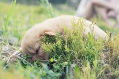 Cztery tygodni golden retriever stary szczeniak outdoors na słonecznym dniu Zdjęcie Royalty Free