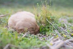 Cztery tygodni golden retriever stary szczeniak outdoors na słonecznym dniu Obraz Stock