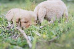 Cztery tygodni golden retriever stary szczeniak outdoors na słonecznym dniu Obraz Royalty Free