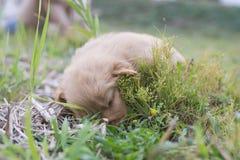 Cztery tygodni golden retriever stary szczeniak outdoors na słonecznym dniu Fotografia Stock