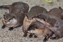 cztery wydry Zdjęcia Stock