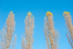 Cztery wykładającego nagiego wysokiego drzewa obraz stock
