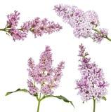 Cztery zaświecają odosobnione lile kwieciste gałąź Obrazy Stock