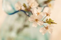 Czuła kwiatonośnej wiśni gałąź Obraz Stock