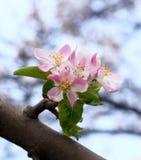 Czuła kwitnąca jabłoń Zdjęcie Royalty Free