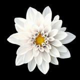 Czułej białego kwiatu dalii makro- odosobniony fotografia stock